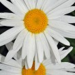 Two white daisies — Stock Photo