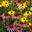 Colorful echinacea garden — Stock Photo