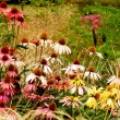 Stock Photo: Late summer echinaceflowers
