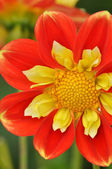 Orange and yellow dahlia flower — Stock Photo