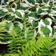 Ferns and hosta plants - Stock Photo