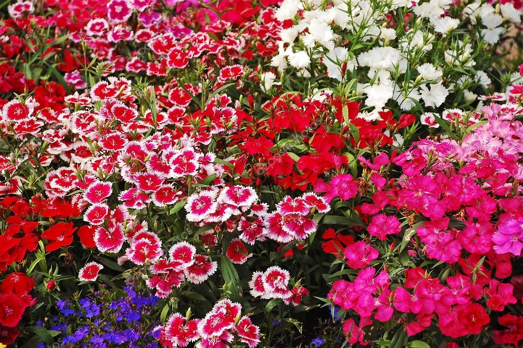 flores para jardim verao : flores para jardim verao:Baixar – Jardim de flor cravo — Imagem de Stock #22472607