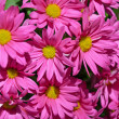 Pink chrysanthemum flowers — Stock Photo #23194794