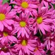 Pink chrysanthemum flowers — Stock Photo #23194794