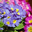 Stock Photo: Pink and purple primroses