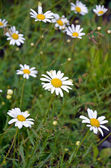 White summer daisies — Stock Photo