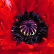 Red poppy center - Stock Photo
