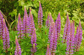 Purple lupin flowers — Stock Photo