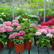 Hydrangeas in garden shop — Stock Photo