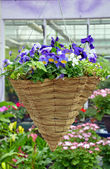 Hanging pansy flower basket — Stock Photo