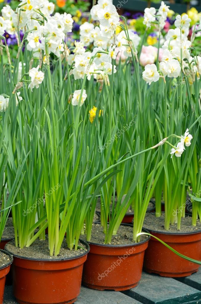 充满鲜花店在春天水仙盆 — 照片作者 montana