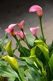 Beautiful pink cala lily arrangement — Stock Photo