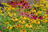 Echinacea colorido jardín — Foto de Stock