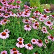 Purple echinacea flower garden — Stock Photo