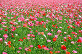 Pink and red poppies — Stock Photo