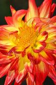 Dahlia oranžový a žlutý květ — Stock fotografie