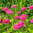 Stock Photo: Pink zinniflower garden