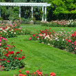 Summer rose garden — Stock Photo