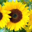 Beautiful yellow sunflowers — Stock Photo