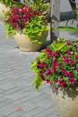 Belle fioriere petunia — Foto Stock