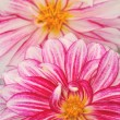 Pink and white dahlia blossoms — Stock Photo