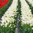 Rows of red and white tulips — Stock Photo