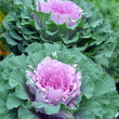 Green and pink kale — Stock Photo