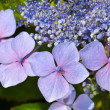 Purple hydrangea blossoms — Stock Photo
