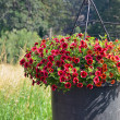 Red petunia flower planter — Stock Photo