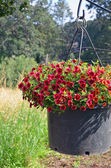 Red petunia flower planter — Stock Photo