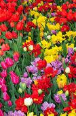 красочный весенний тюльпан сад — Стоковое фото
