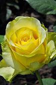 Schöne gelbe rose — Stockfoto