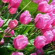 Pink spring tulips in sunlight — Stock Photo