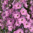 Stock Photo: Pink delphinium flowers
