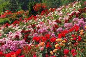 Primavera colorida jardín color de rosa — Foto de Stock