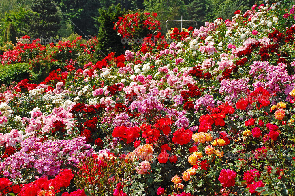 Colorful spring rose garden stock photo montana 39068609 for Natural multi colored roses