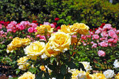 Yellow spring roses — Stock Photo