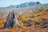 Old tree stump in flower meadow — Foto de Stock