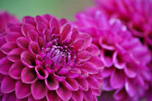 Purple dahlia flower close up — Stock Photo