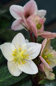 Pink and white helleborus — Stock Photo