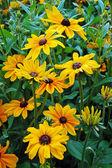 Black eyed susan flower garden — Stock Photo