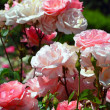 Beautiful pink rose garden — Stock Photo