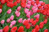 Pink and red spring tulips — ストック写真