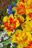 Orange and yellow striped tulips — Stock Photo