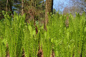 Fiddlehead ferns in spring grove — Stock Photo