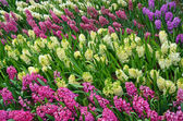 Colorful spring hyacinth flowers — Foto de Stock
