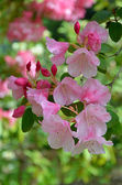 Pink spring rhododendron flowers — Stock Photo