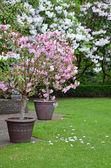 Fiori di Rododendro Rosa e bianco — Foto Stock