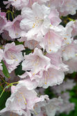 Light pink rhododendron flowers — Stock Photo