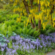 Yellow laburnum tree in spring garden — Stock Photo #46852653